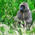 Gentle Living Safaris: Monkeys in Tanzania