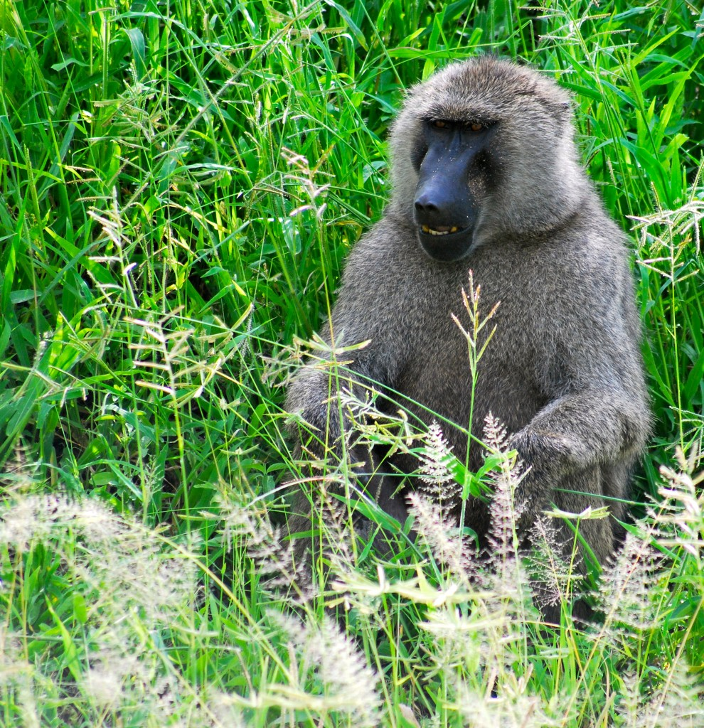 Monkeys on Safari In Tanzania