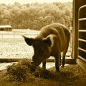 Farm Sanctuary: New York Shelter Sample Itinerary